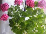 Цветок пахистахис и герань