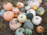 Продам удивительный набор витаминов в виде тыквы