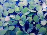 Лилия аквариумная(кувшинка. пистия)